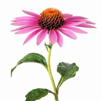 Echinacea Purpurea Extract 4:1 / > 0.3% Cichoric acid