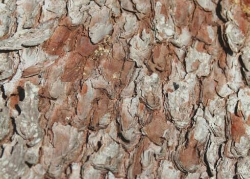 Pine Bark Extrakt 95% Proanthocyanidine (UV)