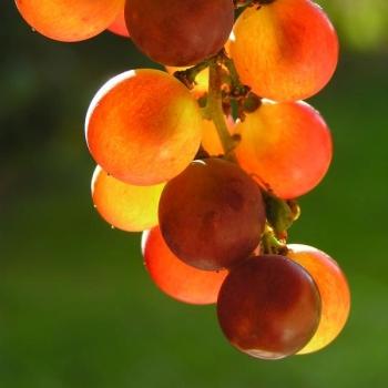 Rote Trauben Kern Extrakt 50% OPC , 95% Polyphenole