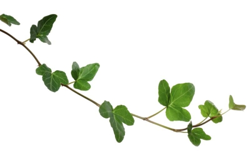 Ivy Leaf Extract 8:1