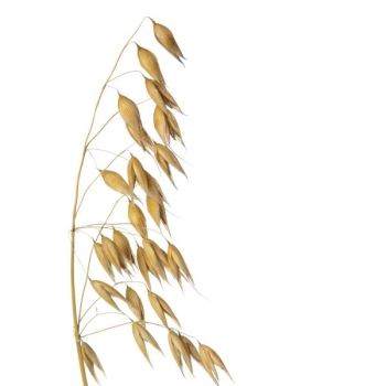 Oat Extract 10:1, water soluble
