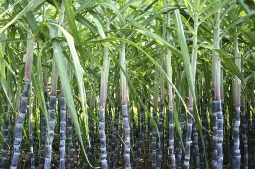 Zuckerrohr Extrakt min. 30 % Policosanol, 1 % Oct