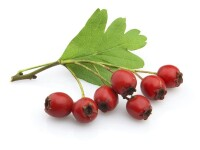 Hawthorn Fruit P.E 4:1