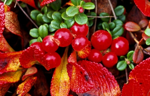 Bearberry Leaf Extract min. 20 % Arbutin