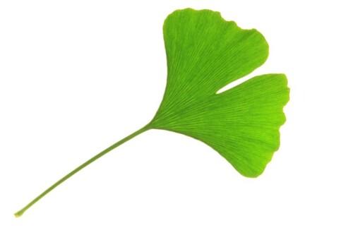 Ginkgo Trockenextrakt, raffiniert, eingestellt min. 22% ges. Flav.,Aceton, EP