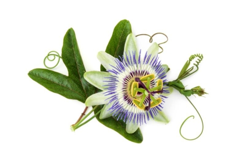 Passionsblumen Extrakt ~ 3,5 - 4,0 % Flav.(als Rutin)