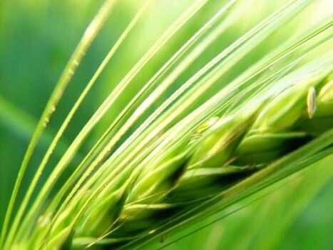 Barley Grass Powder organic, ~ 60 mesh