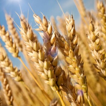 Wheat Germ Extract Powder